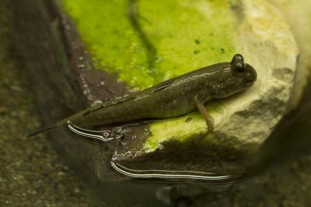 Pearse's mudskipper (Periophthalmus novemradiatus).