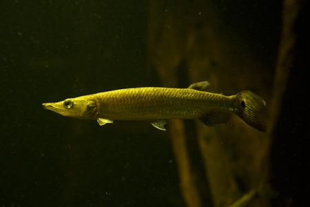 Silver gar, rocket gar, hujeta gar, freshwater barracuda(Ctenolucius hujeta). Stock Photo
