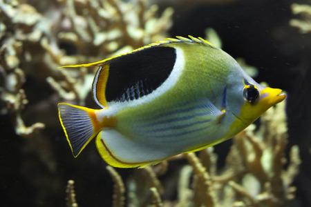 Saddle Butterflyfish  (Chaetodon ephippium). 写真素材