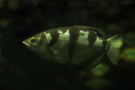 Banded archerfish (Toxotes jaculatrix). Banco de Imagens - 120433595