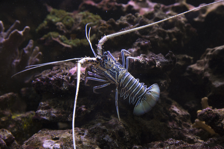 Painted rock lobster, common rock lobster, bamboo lobster, blue spiny lobster (Panulirus versicolor).