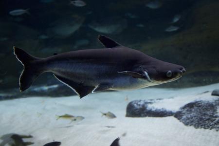 Giant pangasius, paroon shark, pangasid-catfish, Chao Phraya giant catfish (Pangasius sanitwongsei).