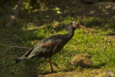 Northern ibis calvo, ermitaño ibis, waldrapp (Geronticus eremita).