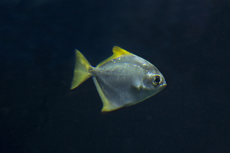 Silver moonyfish, silver moony, butter bream, diamondfish (Monodactylus argentus).