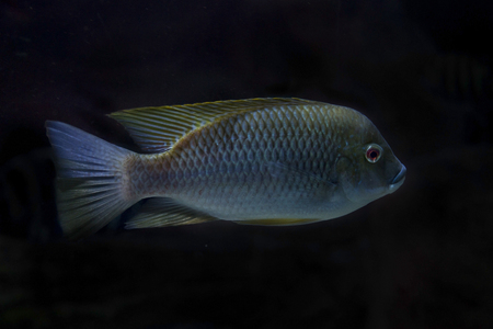 Cameroon tilapia (Oreochromis camerunensis). Banco de Imagens