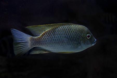 Kameroen tilapia (Oreochromis camerunensis). Stockfoto