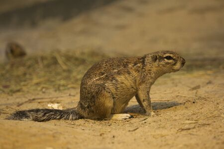 Cape ground squirrel (Xerus inauris).