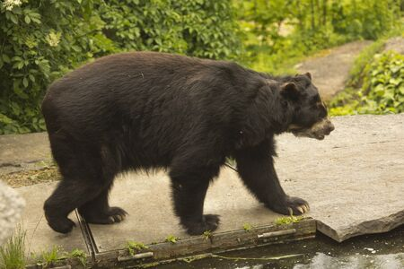 Spectacled bear (Tremarctos ornatus) in zoo.