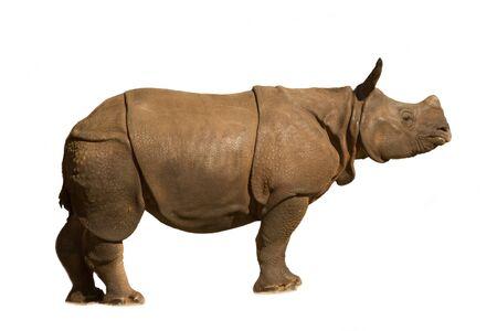 White rhinoceros, square-lipped rhinoceros (Ceratotherium simum), baby.