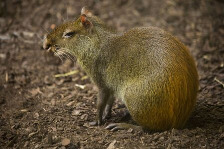 Red-rumped agouti, golden-rumped agouti, orange-rumped agouti, Brazilian agouti (Dasyprocta leporina).