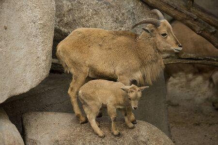 Barbary sheep. (Ammotragus lervia).