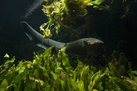 The electric eel (Electrophorus electricus).