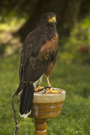 The Golden eagle (Aquila chrysaetos). Stock Photo