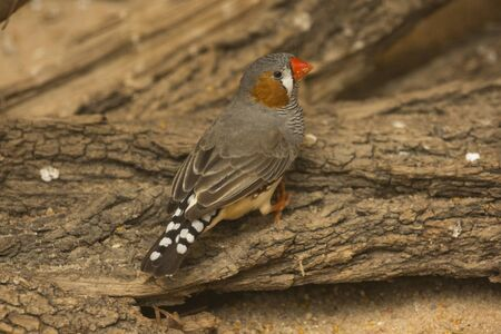 The Zebra Finch (Taeniopygia guttata).