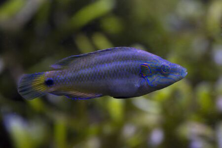 The Ocellated wrasse (Symphodus ocellatus).