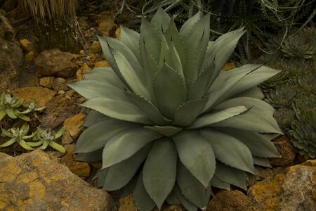 The cabbage head agave, cabbage head century plant (Agave parrasana).