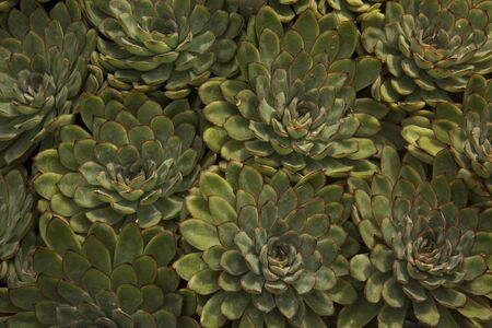 Echeveria pulidonis (evergreen succulent plants).