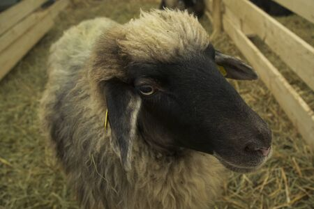 The Suffolk sheep (Ovis aries) , British breed of domestic sheep. Фото со стока
