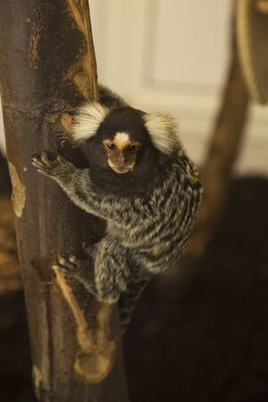 The common marmoset (Callithrix jacchus).