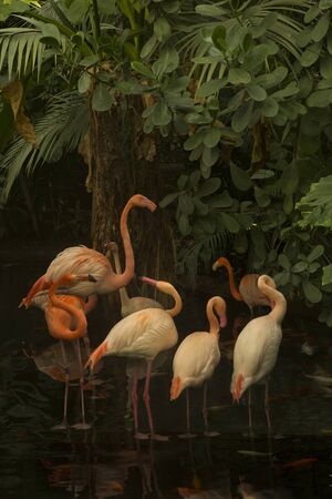 Greater flamingo ( Phoenicopterus roseus).