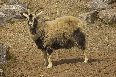 The cashmere goat (Capra cashmere).