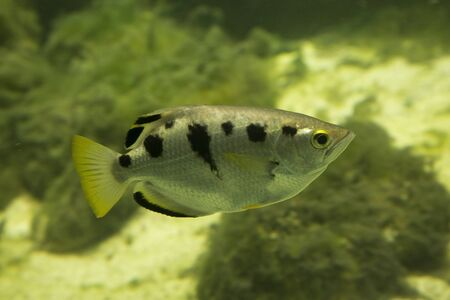 The common archerfish, seven-spot archerfish, largescale archerfish (Toxotes chatareus).