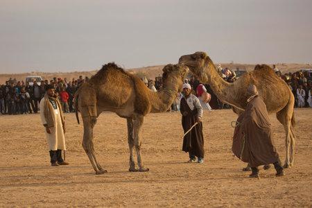 DOUZ,TUNISIA. 20 DECEMBER 2018.  Festival of the Sahara in Douz, Tunisia. Fights between camels.