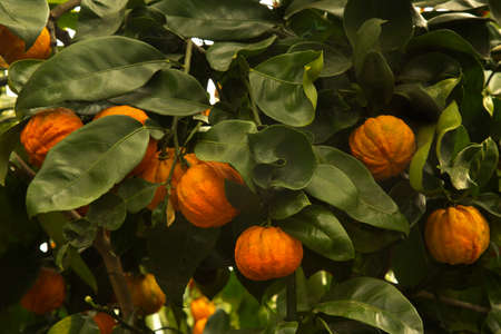 Bitter orange, Seville orange, sour orange, bigarade orange