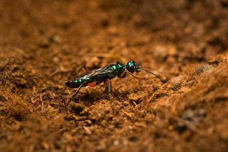 Emerald cockroach wasp or jewel wasp (Ampulex compressa).
