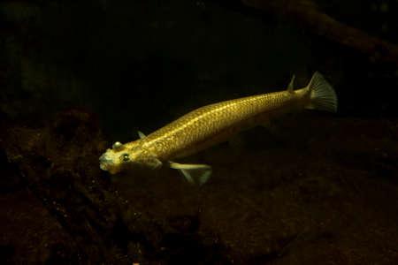 he Four-eyed fish (Anableps anableps). Фото со стока