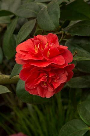 Camellia japonica 'Calipso Vera' in the botanical garden. Фото со стока