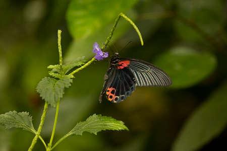 Scarlet Mormon or red Mormon (Papilio rumanzovia).