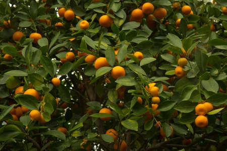 Calamansi, calamondin or Philippine lime (Citrus × microcarpa). Фото со стока