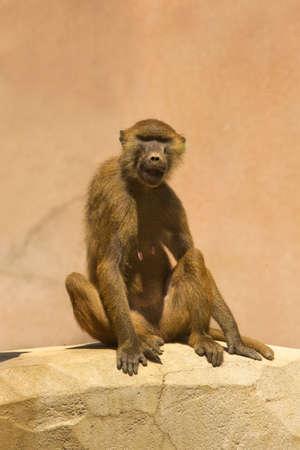 The Guinea baboon, savanna baboon (Papio papio) in zoo of Paris. Фото со стока