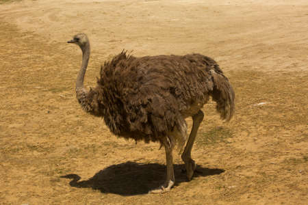 South African ostrich, black-necked ostrich, Cape ostrich, southern ostrich (Struthio camelus australis).