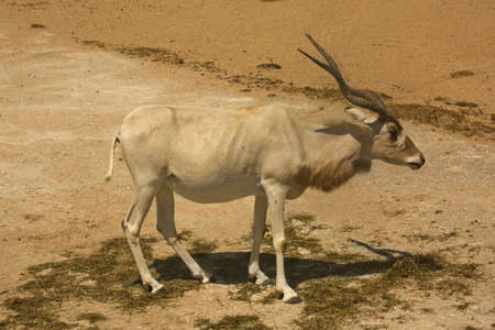 The addax, the white antelope, the screwhorn antelope (Addax nasomaculatus).