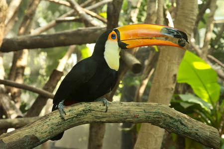 Toco toucan, common toucan, giant toucan (Ramphastos toco).