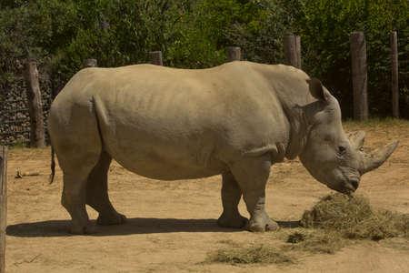 White rhinoceros, square-lipped rhinoceros (Ceratotherium simum). Фото со стока