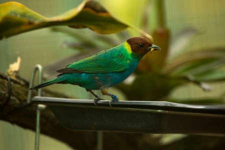 The bay-headed tanager (Tangara gyrola)