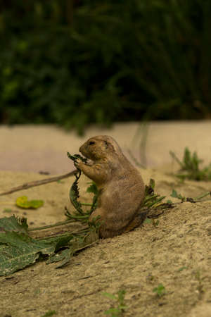The black-tailed prairie dog (Cynomys ludovicianus).