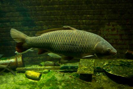 Common carp or European carp (Cyprinus carpio).