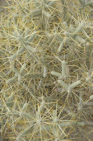 opuntia: Opuntia ramosissima. Branched Pencil Cholla.