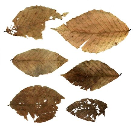 Six decompoing leaves on white.