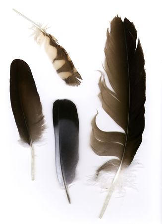Feathers. The two toned grey feather is from a Morning Dove. The small barred brown feather is from a Burrowing Owl. The two large brown feathers are from (the dark poet of the high skys) the vulture.