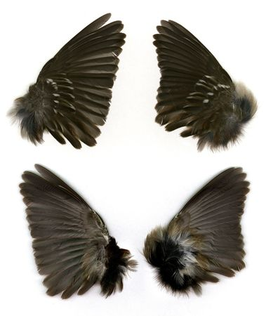 Set of Sparrows wings shown both front and rear. Stock Photo
