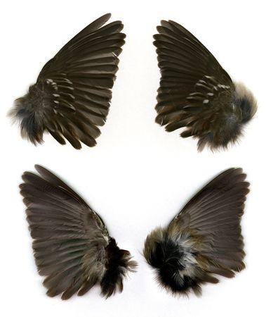 photoshop: Set van Sparrow's vleugels zien zowel voor-en achterzijde. Stockfoto