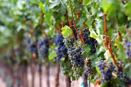 Grapes ripening on the vine in a vinyard located in southern California USA. Stock Photo