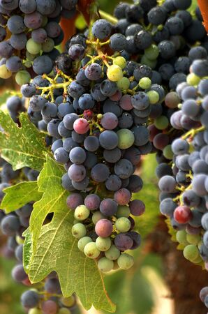 A cluster of ripening grapes in the vinyard. Stock Photo