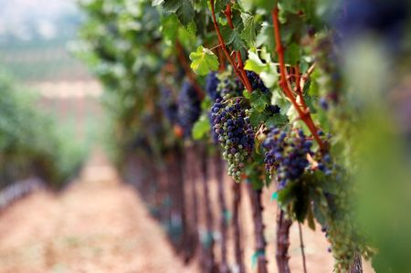 Vinyard photographed with soft shallow depth of focus.