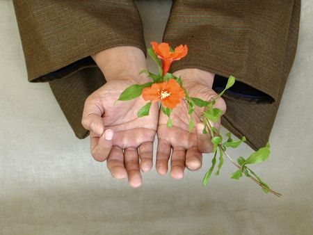 A Asian mans hand holding blossoms Stock Photo
